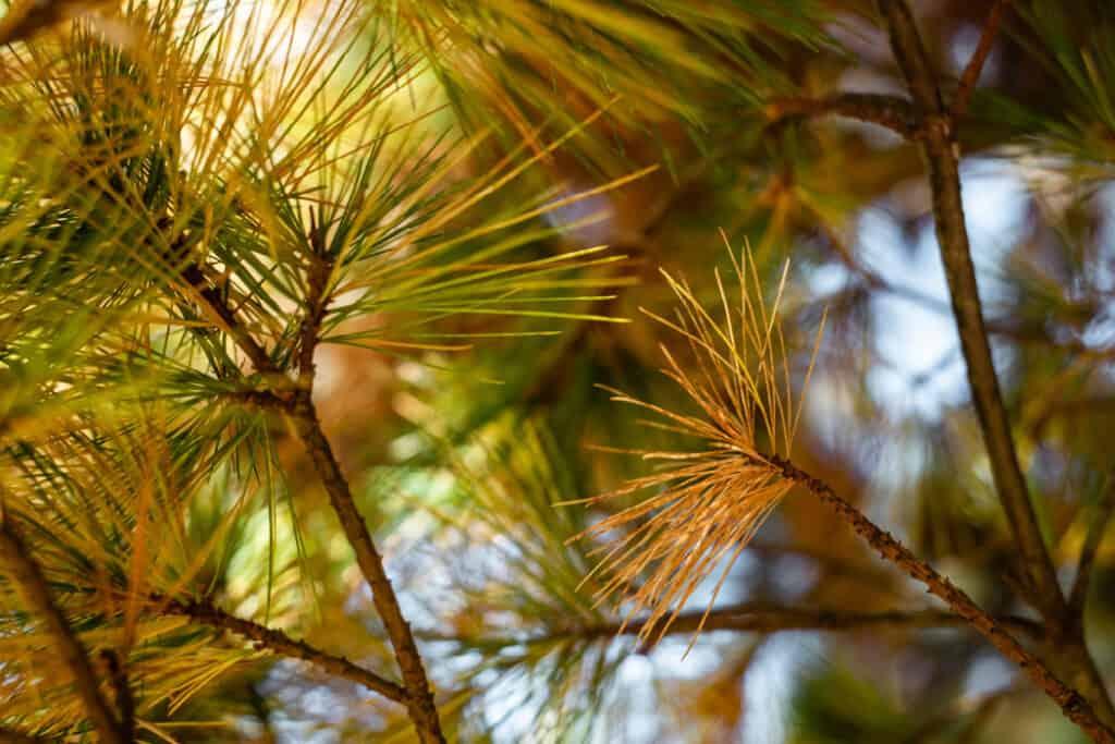 Brown pine needle