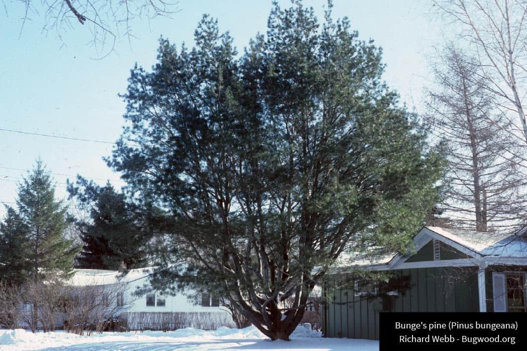 Bunge Pine