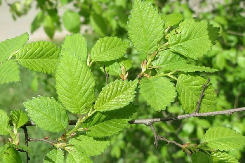 Elm Tree leaves
