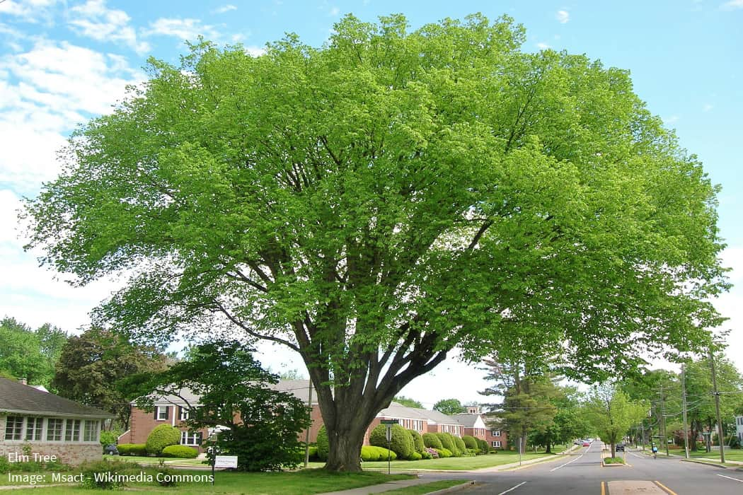 Elm Tree
