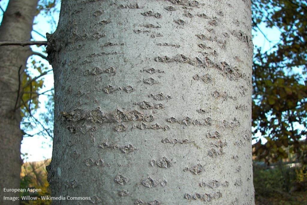 European Aspen Bark