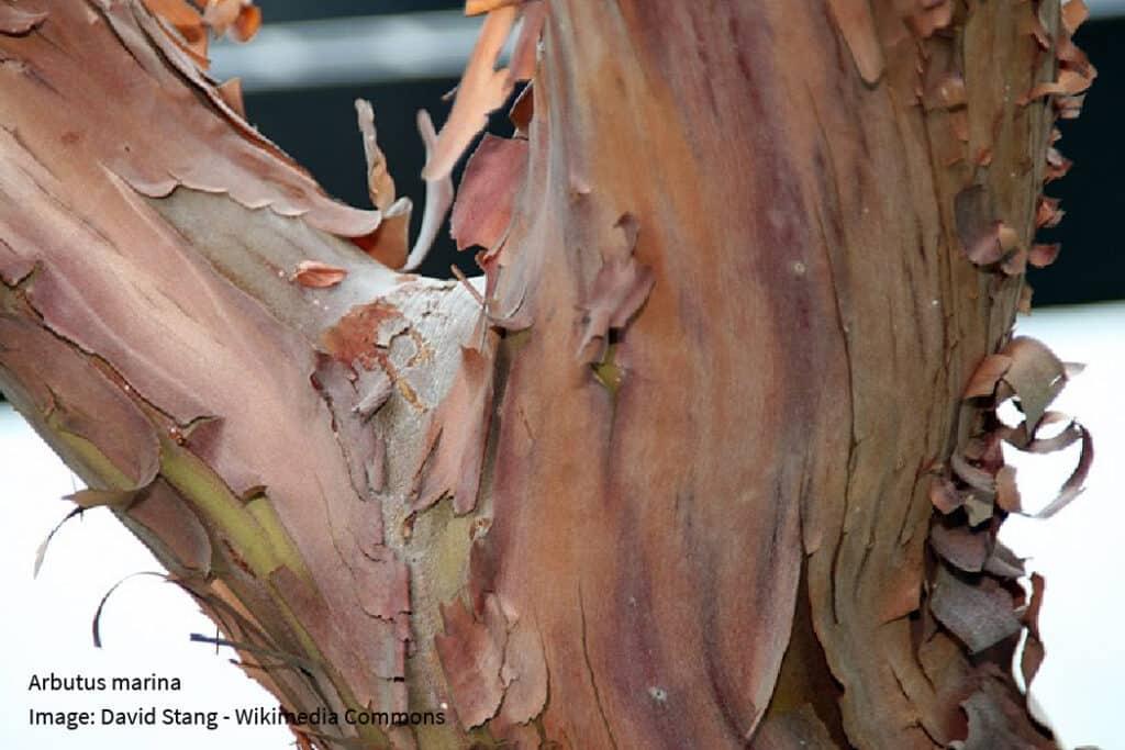 arbutus marina bark