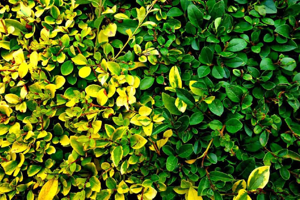 boxwood leaf yellow