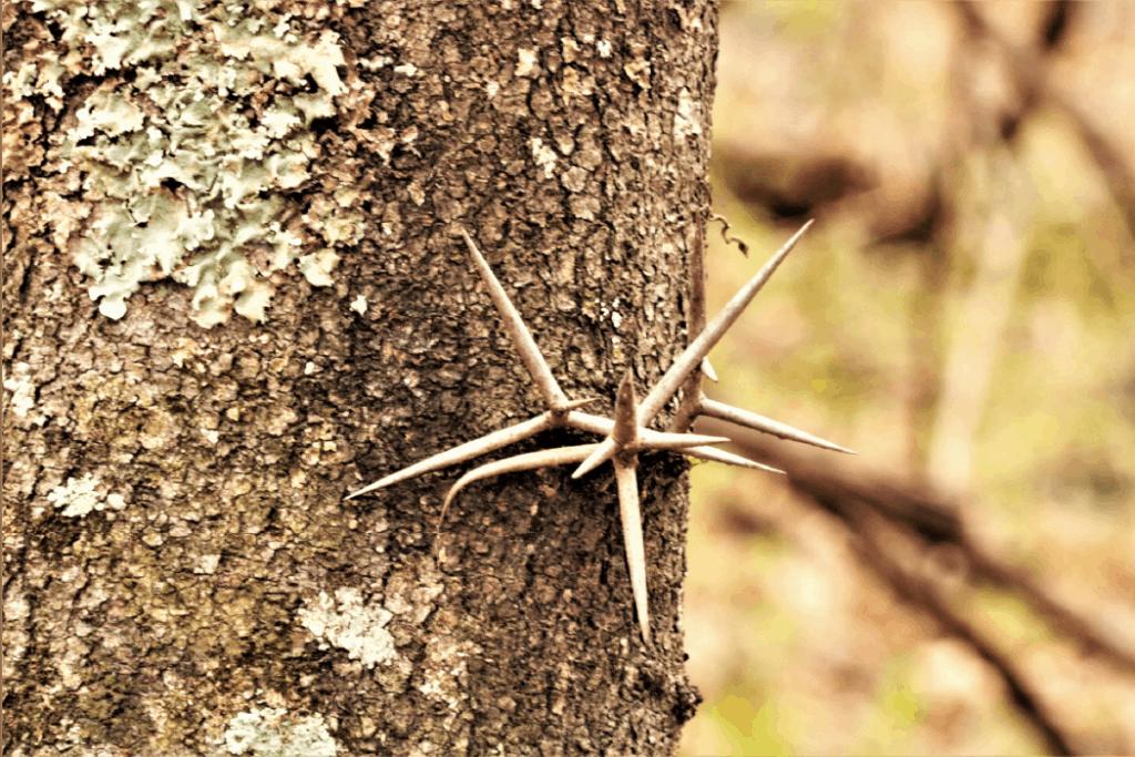 honey locust thorn