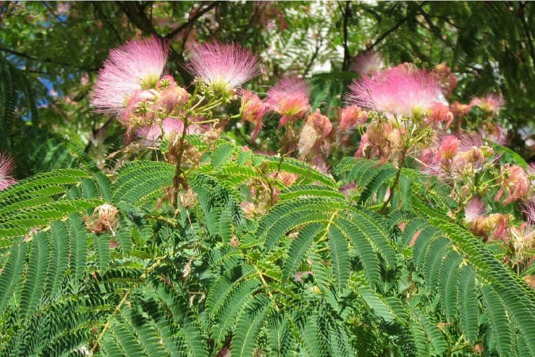Persian Slik Tree