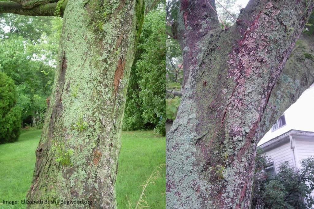 mimosa tree wilt