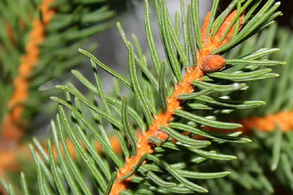 spruce needle