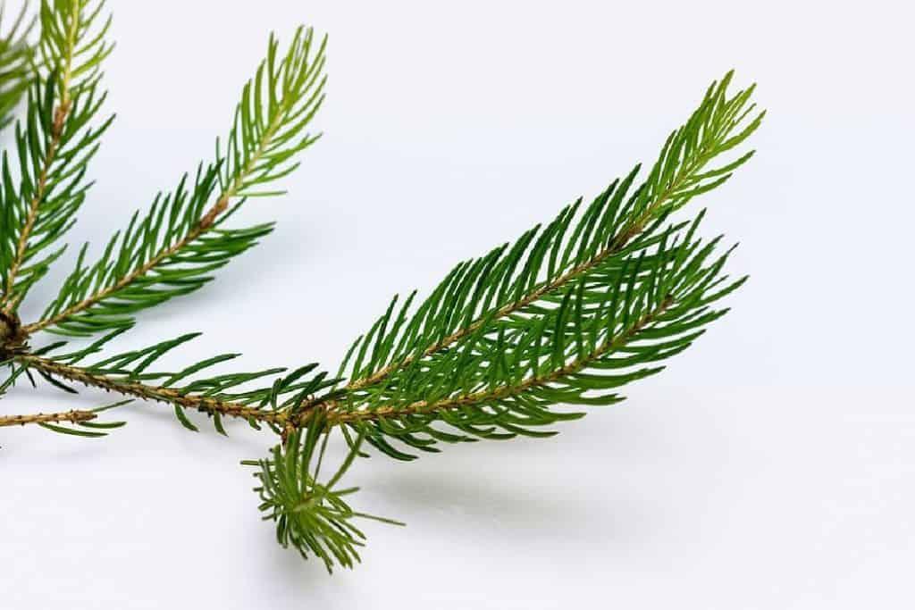 spruce upright branch