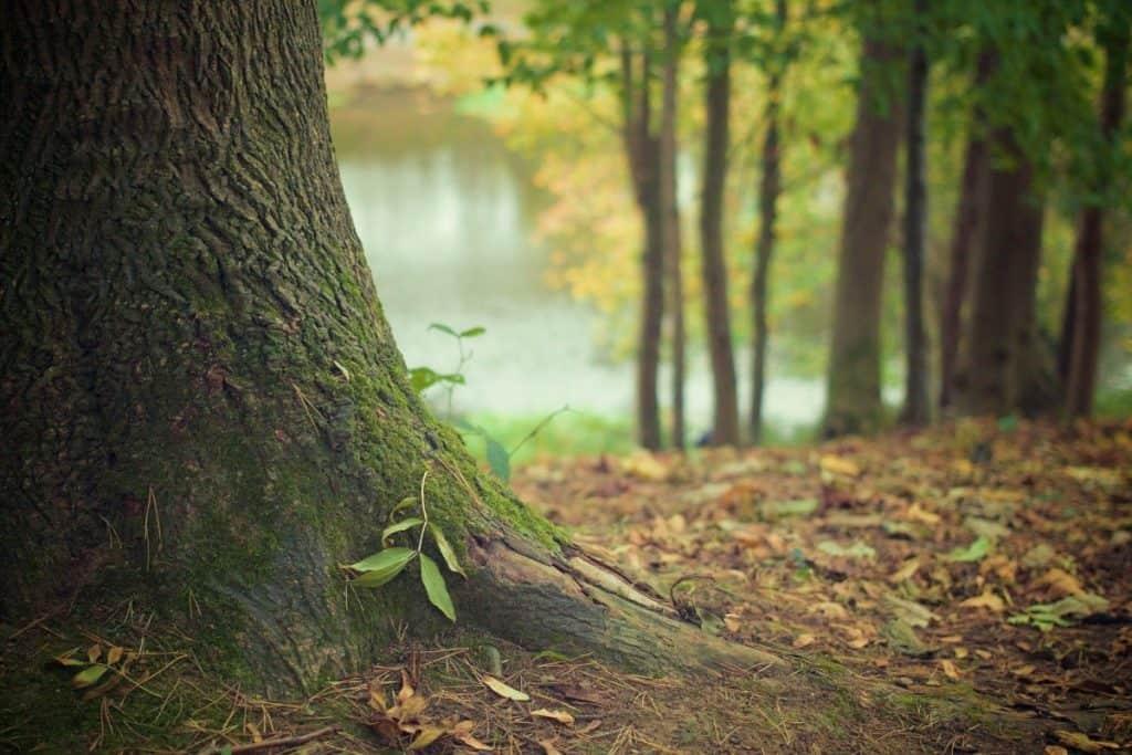 aura tree