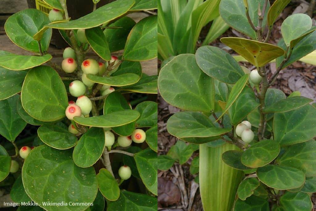 Mistletoe Fig