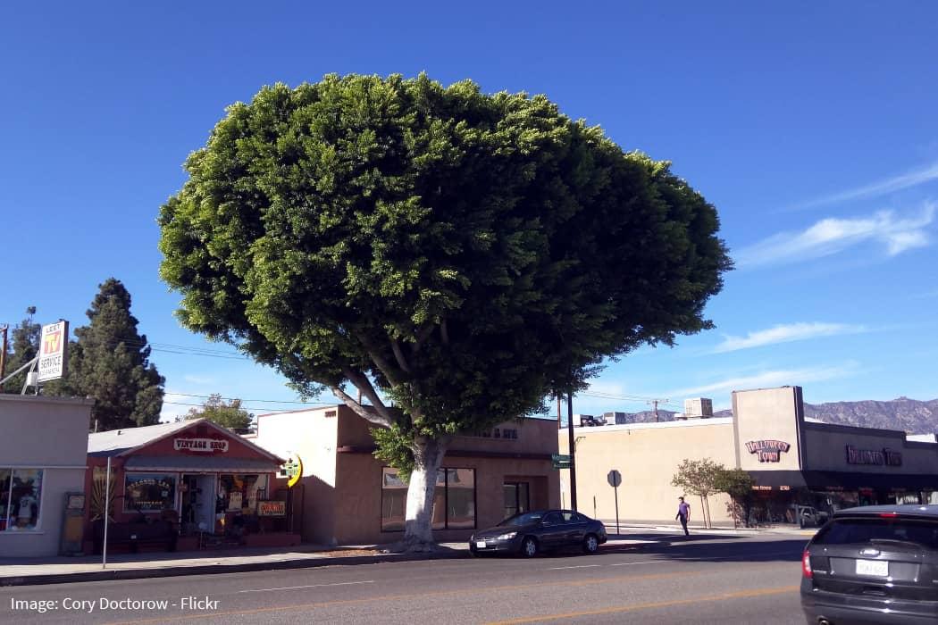 Outdoor ficus tree