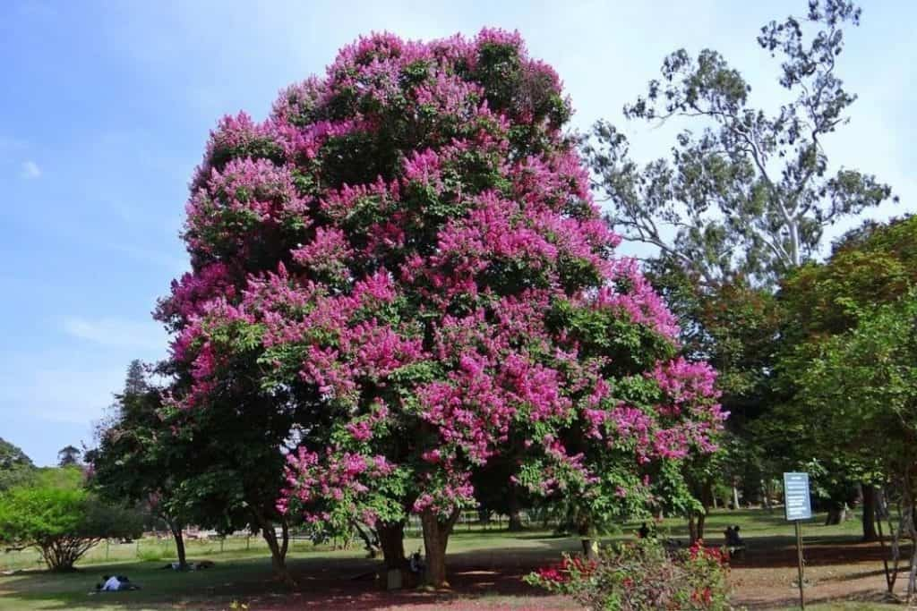 Crepe Myrtle grow condition