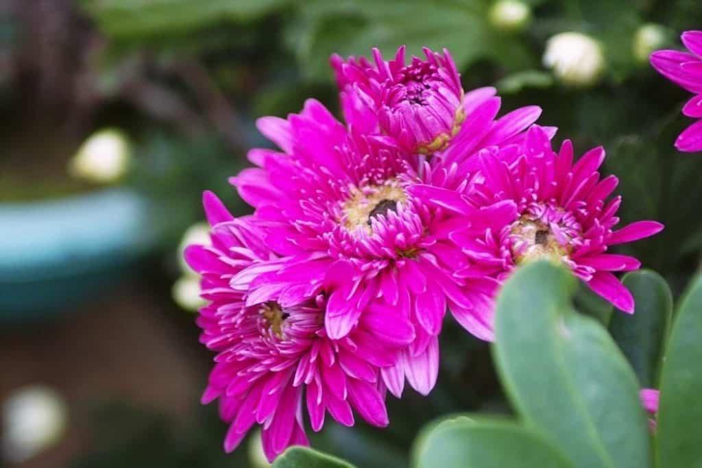 Dahlia Plant