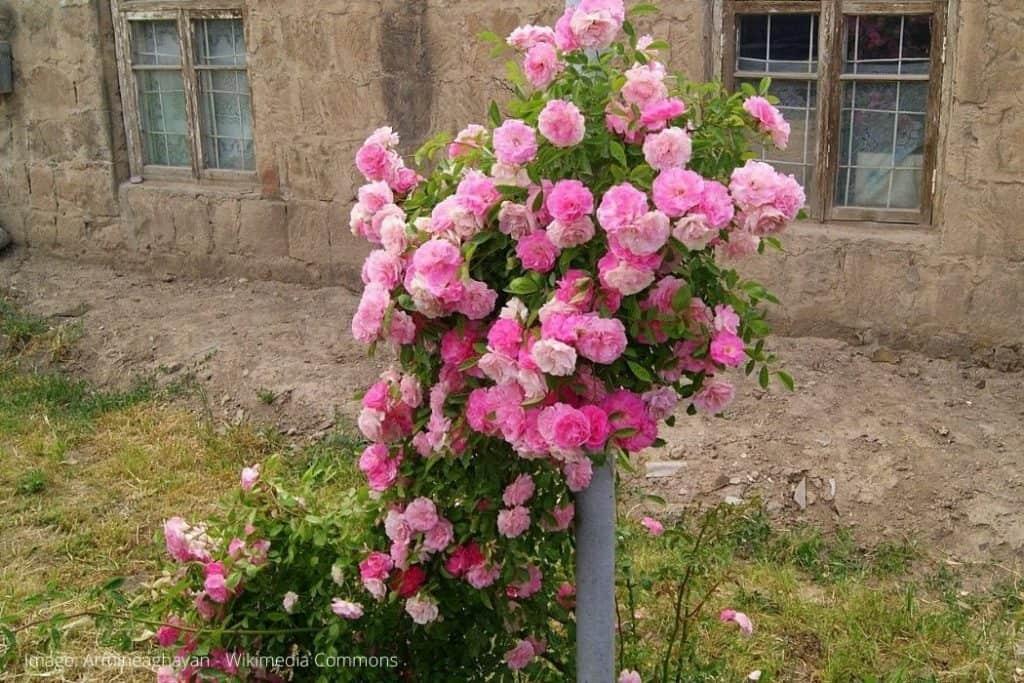 ramble rose