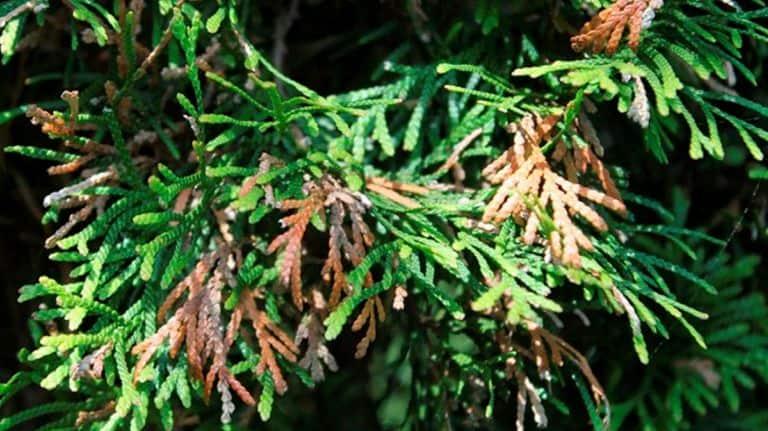 yellowing arborvitae