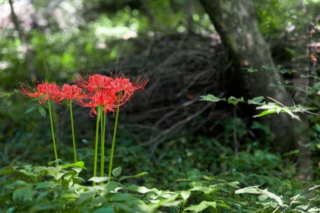 Lycoris Squamigera