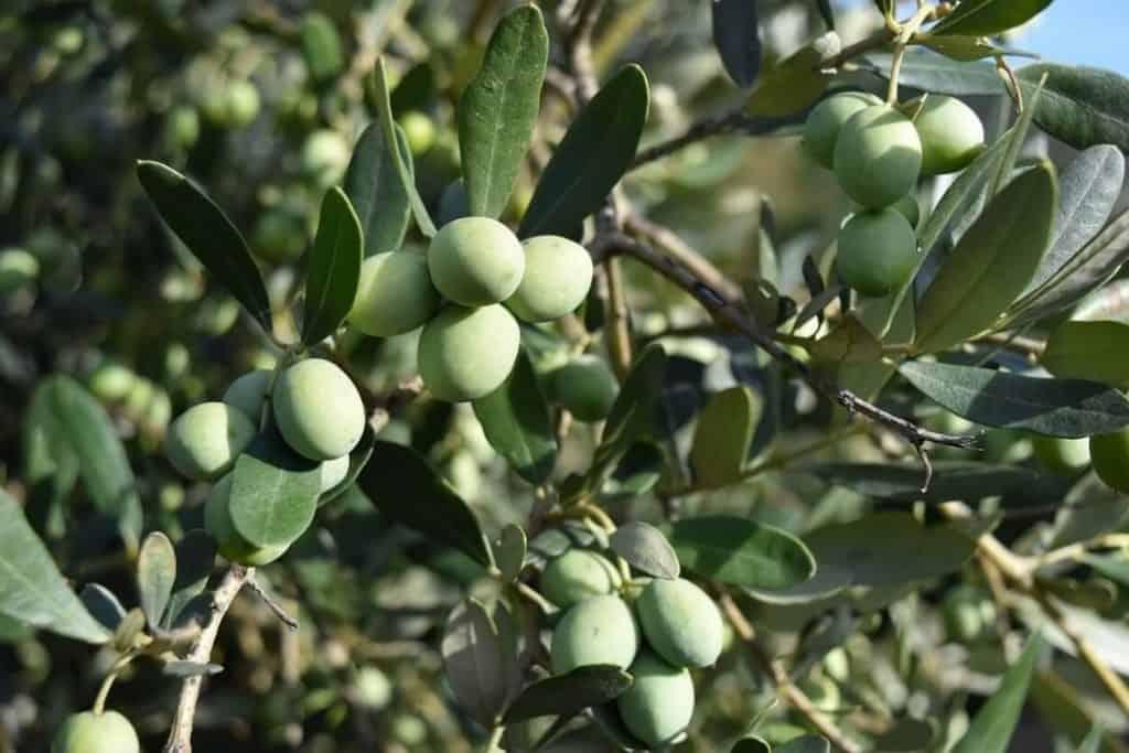 Olive tree pest