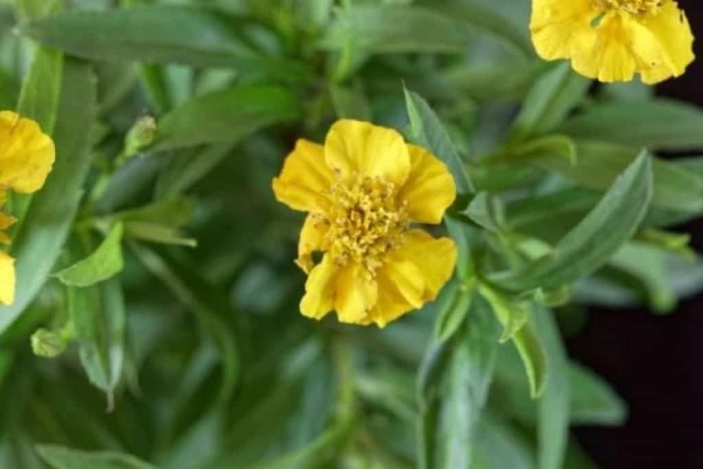 Tagetes Herb