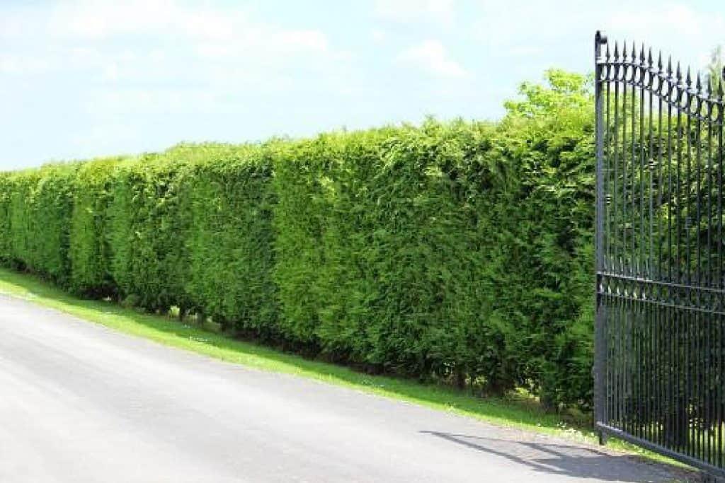 leyland cypress driveway