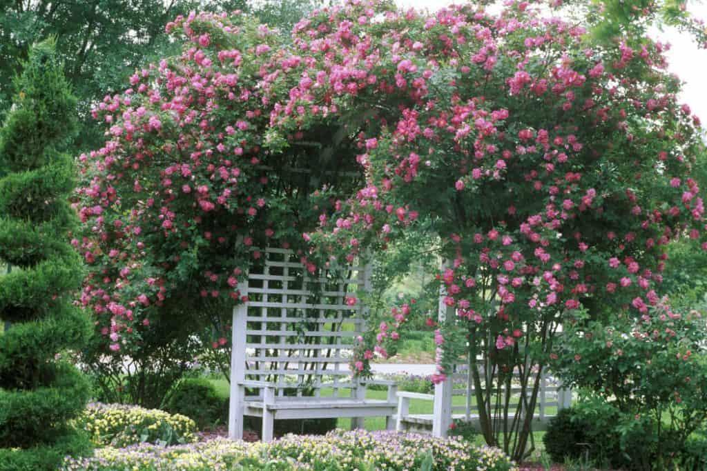 rose climber fence