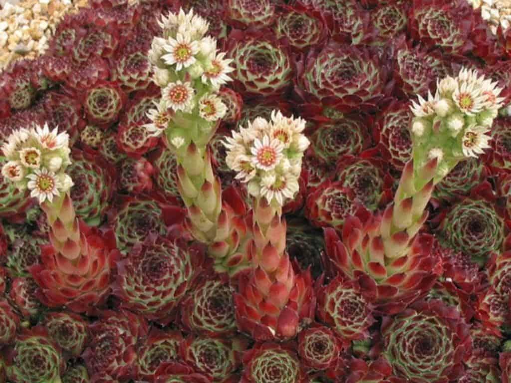 sempervivum calcareum guillaumes