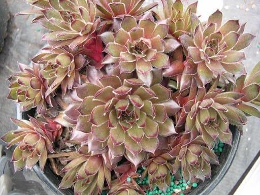sempervivum sanford hybrid