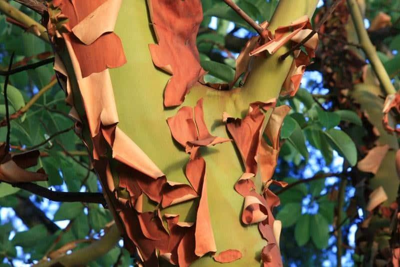 arbutus marbutus bark