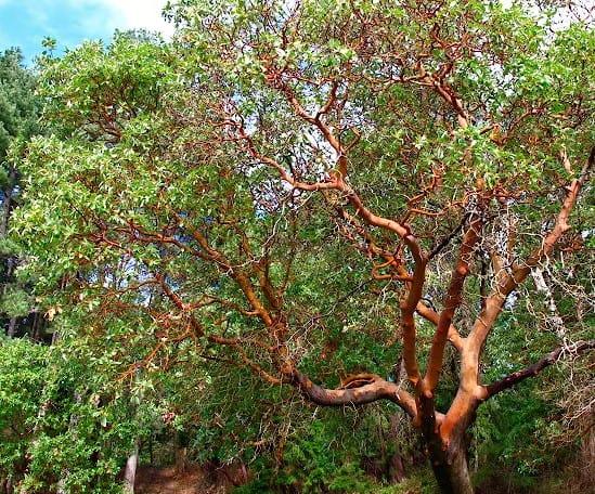 arbutus menziesii branches