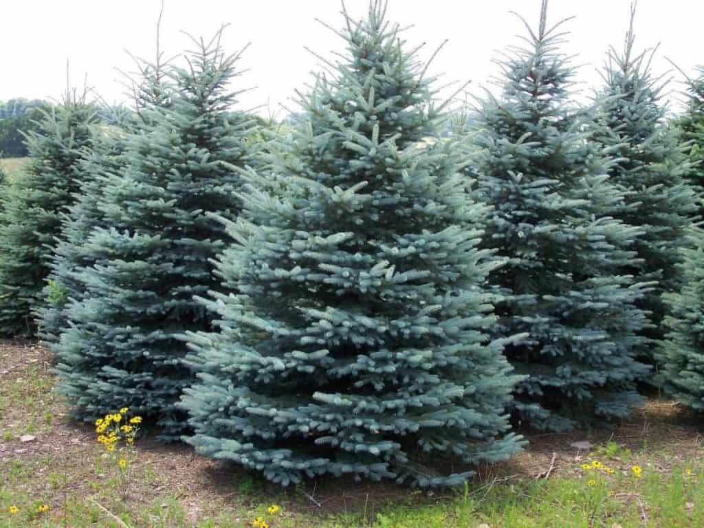 bliue spruce