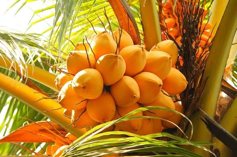 chowghat orange dwarf coconut