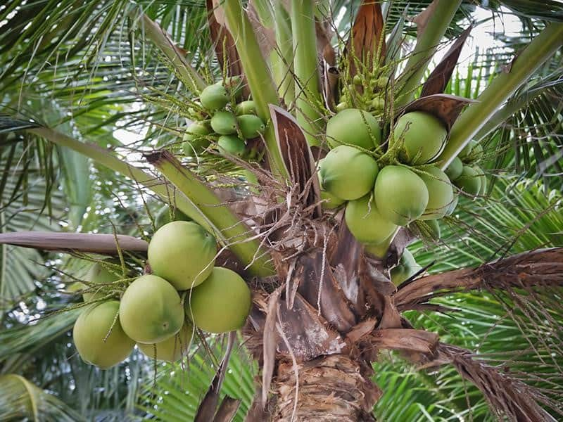 dwarf coconut tree