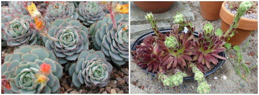 echeveria vs sempervivum blooms