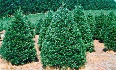grand fir