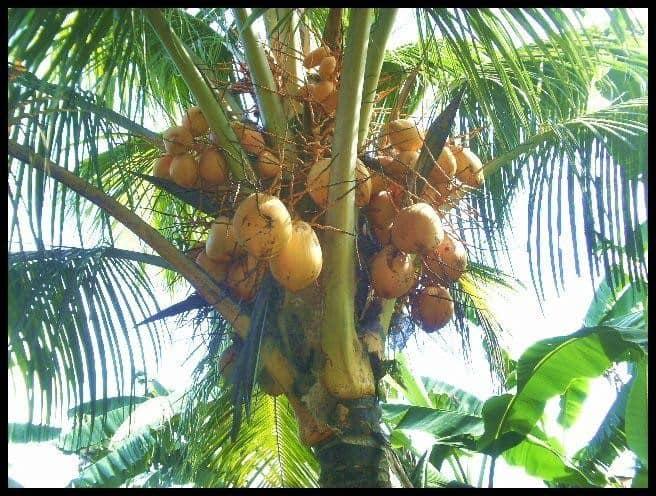 macapuno dwarf coconut