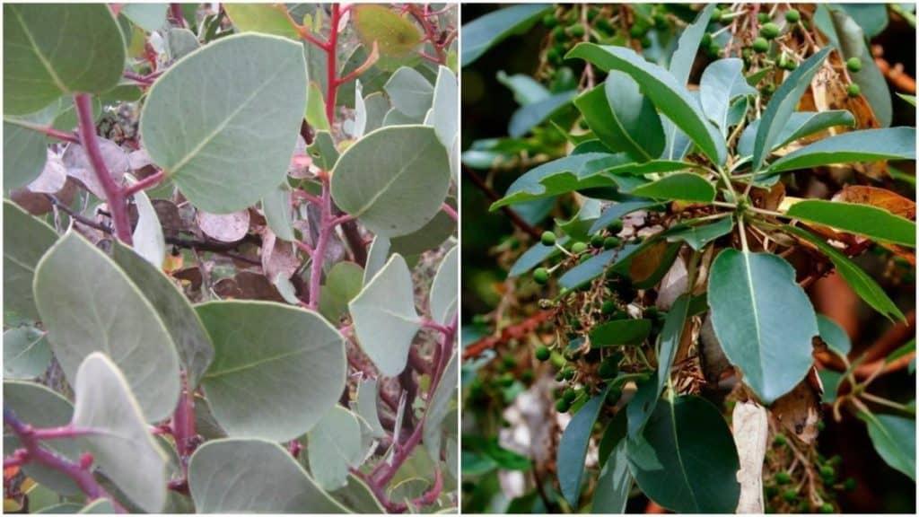 manzanita madrone leaves