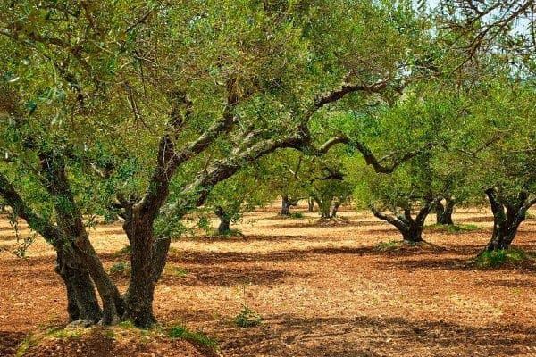 oliewenhout