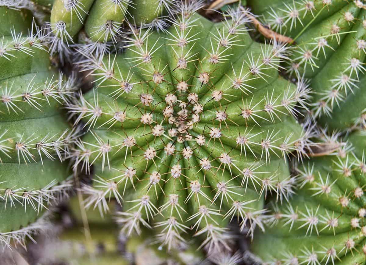 rare cactus
