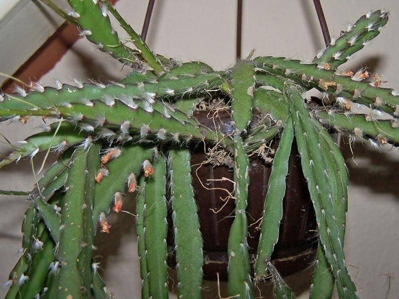 rhipsalis lepismium cruciforme