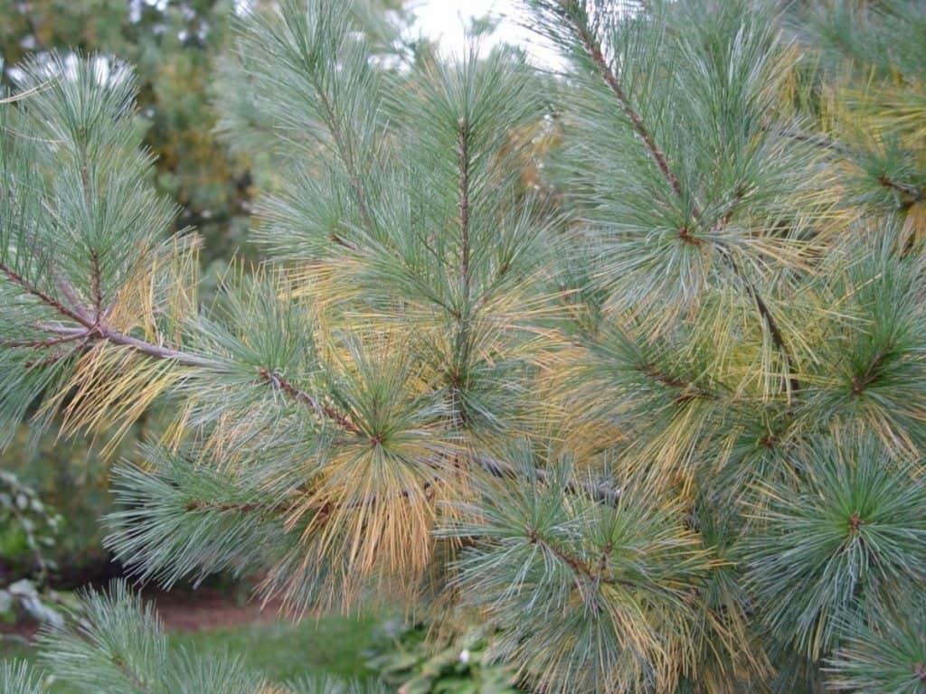whtie pine