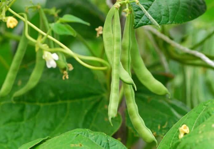 aeroponics beans