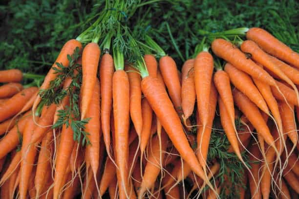 aeroponics carrots