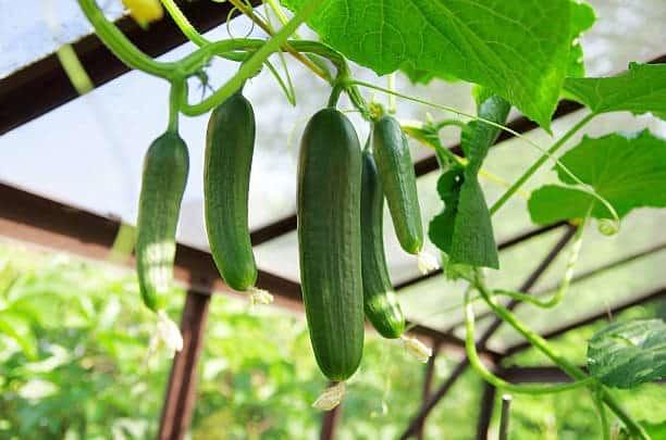 aeroponics cucumbers
