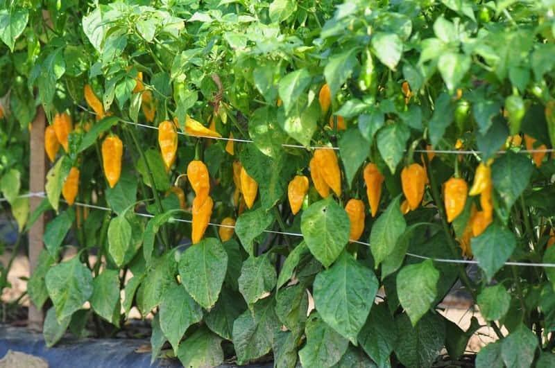 aeroponics peppers