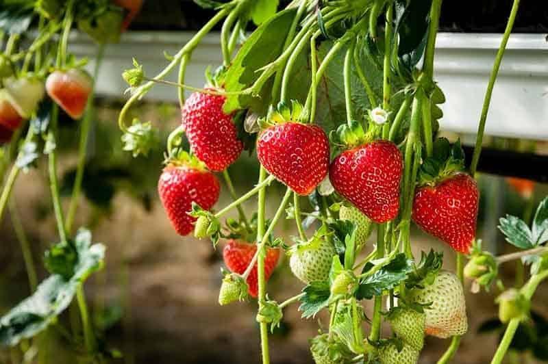 aeroponics strawberries