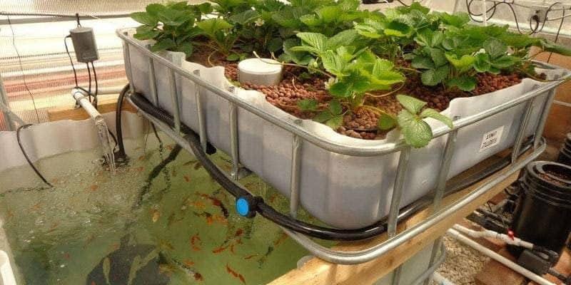 aquaponic setup