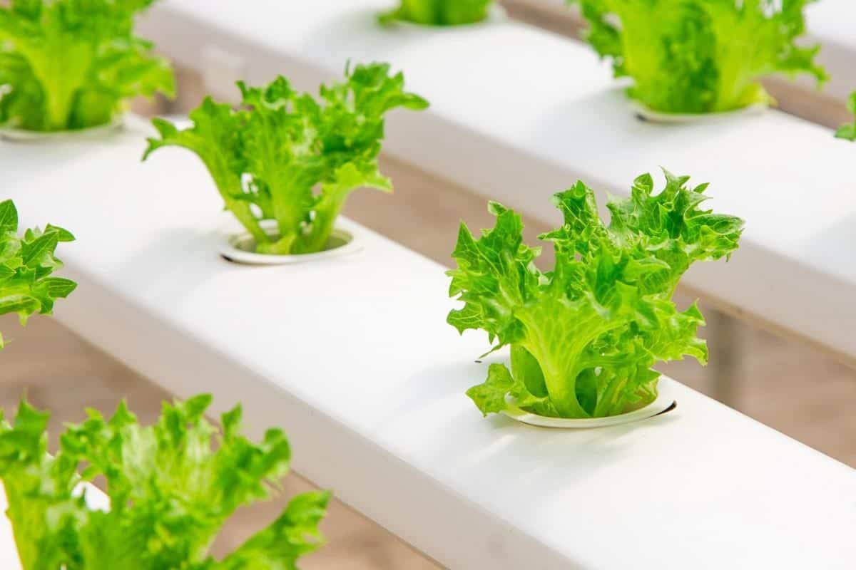 hydroponic growing vegetable